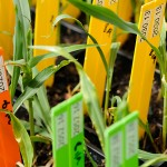 <p>Photos of corn research conducted by Agrivida a business participating in the Technology Incubation Program.   Photo by Peter Morenus</p>
