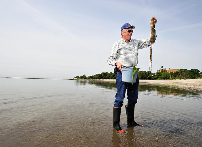 <p>Charles Yarish, professor of Ecology & Evolutionary Biology, collects seaweed along Long Island Sound in Bridgeport. Photo by Peter Morenus</p>