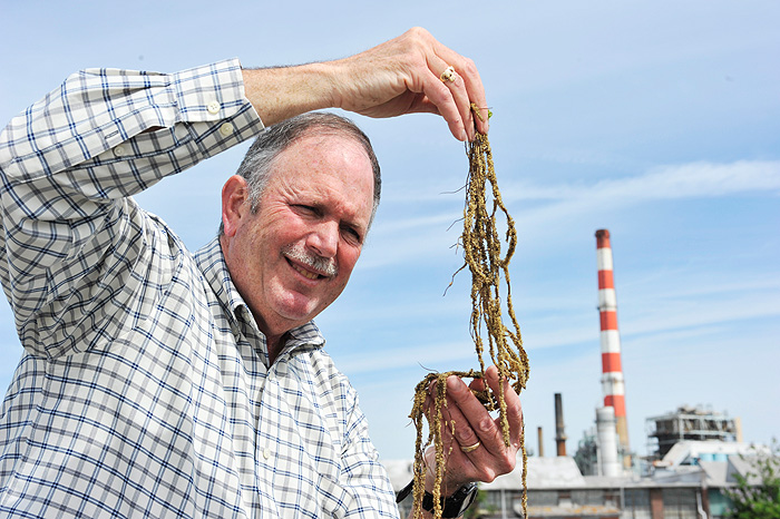 <p>Charles Yarish, professor of Ecology & Evolutionary Biology, collects seaweed near an electric power plant along Long Island Sound in Bridgeport. Photo by Peter Morenus</p>