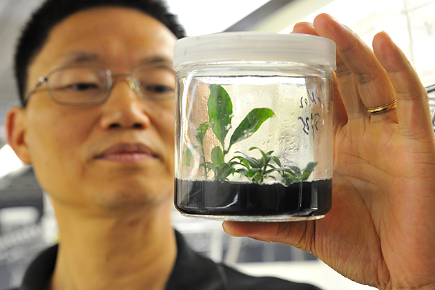 Yi Li, professor of plant science and landscape architecture with a burning bush plant at his lab, on August 9, 2011.