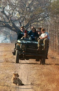 UConn students watch a cheetah on a road at Entabeni Game Reserve in South Africa.on Aug. 30, 2012. (Kelly O'Connor '13 (CANR)/UConn Photo)