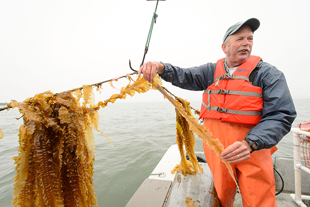 Charles Yarish, professor of ecology and evolutionary biology and marine sciences, looks over a line of kelp as it is being harvested by the Thimble Islands Oyster Company from Long Island Sound. One of the many benefits of kelp is that it can help reduce water pollution. (Peter Morenus/UConn Photo) (Peter Morenus/UConn Photo)
