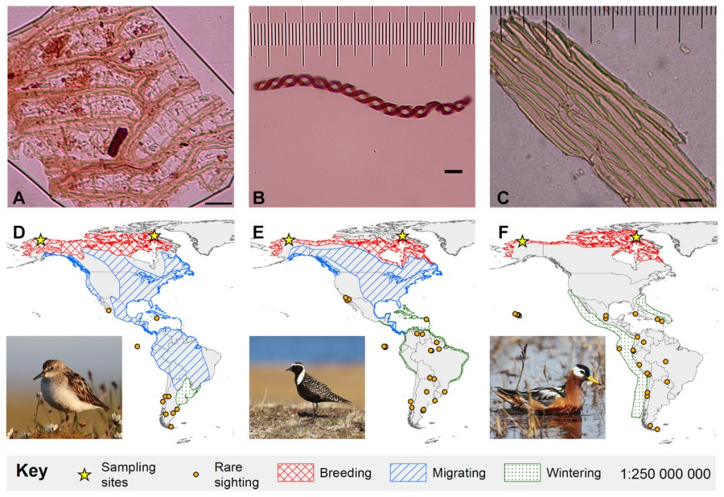 MigratoryBirdsFigure showing three bryophyte diaspores, and from left, the semipalmated sandpiper, American golden plover, and red phalarope. The maps show for each bird species their breeding, migratory, and wintering distributions, as well as rare sightings. (Bird photos by Cameron Rutt)