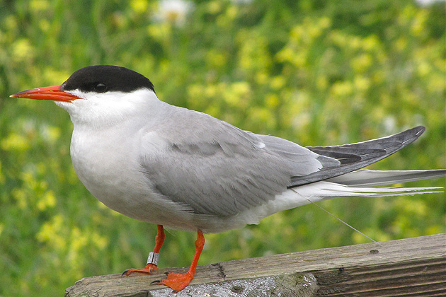 An adult Common Tern with an identifying band on its right leg. (Sheila Foran/UConn Photo)