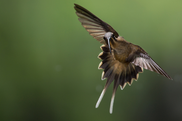 A long-billed hermit in flight at Cope Wildlife Guapiles Costa Rica