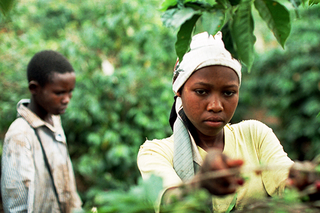 Child laborers pick coffee on a coffee plantation. (Robin Roman/UConn Archives & Special Collections)