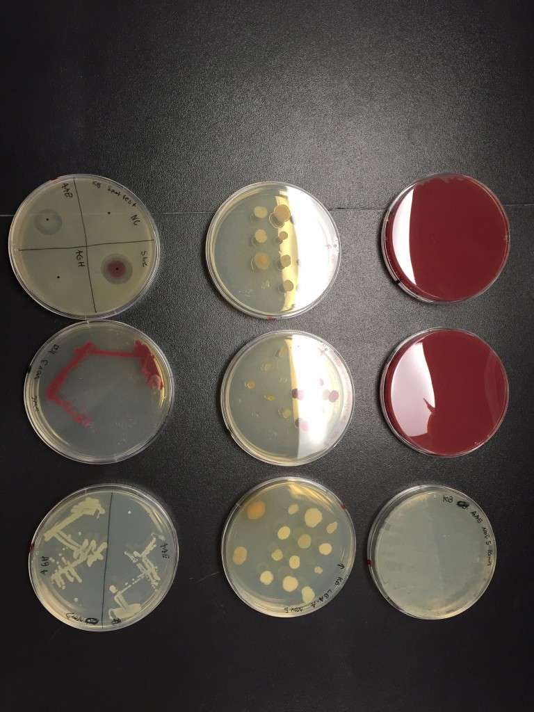 Nine of Kristin Burnham's petri dishes. The two dishes on the right are covered in a deep red growth of V. ruber. The dish on the upper left is divided into quadrants to test four different types of bacteria for antibiotic activity. The fuzzy haze covering most of the dish is B. subtilis, a reference species. V. ruber, on the lower right quadrant of this dish, is surrounded by a clear area where no B. subtilis will grow, evidence of V. ruber's antibiotic powers. (Kim Krieger/UConn Photo)