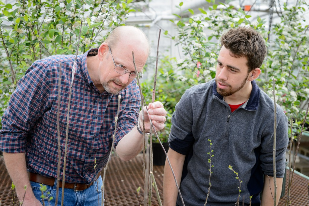 Mark Brand, left, professor of plant science and landscaping, and Nathan Wojtyna '16 (CAHNR) look over grafted Aronia mitschurinii plants at the Floriculture Greenhouse on May 1, 2015. This project was funded by an IDEA grant. (Peter Morenus/UConn Photo)