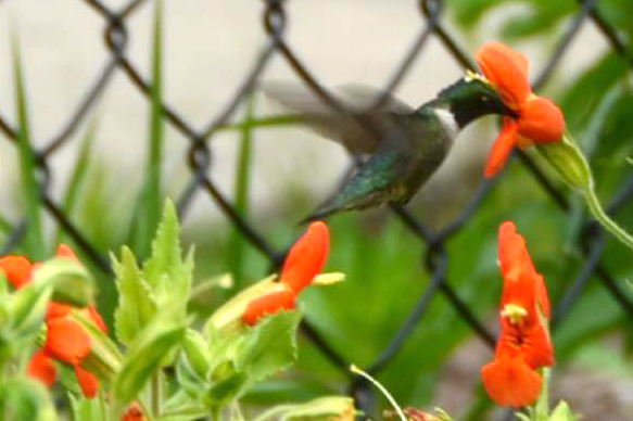 A hummingbird sipping nectar from Mimulus cardinalis in the garden outside the Torrey Life Sciences Building. (Photo courtesy of Yao-Wu Yuan)