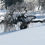 Snow scene with trees full of ice and snow covered grounds.