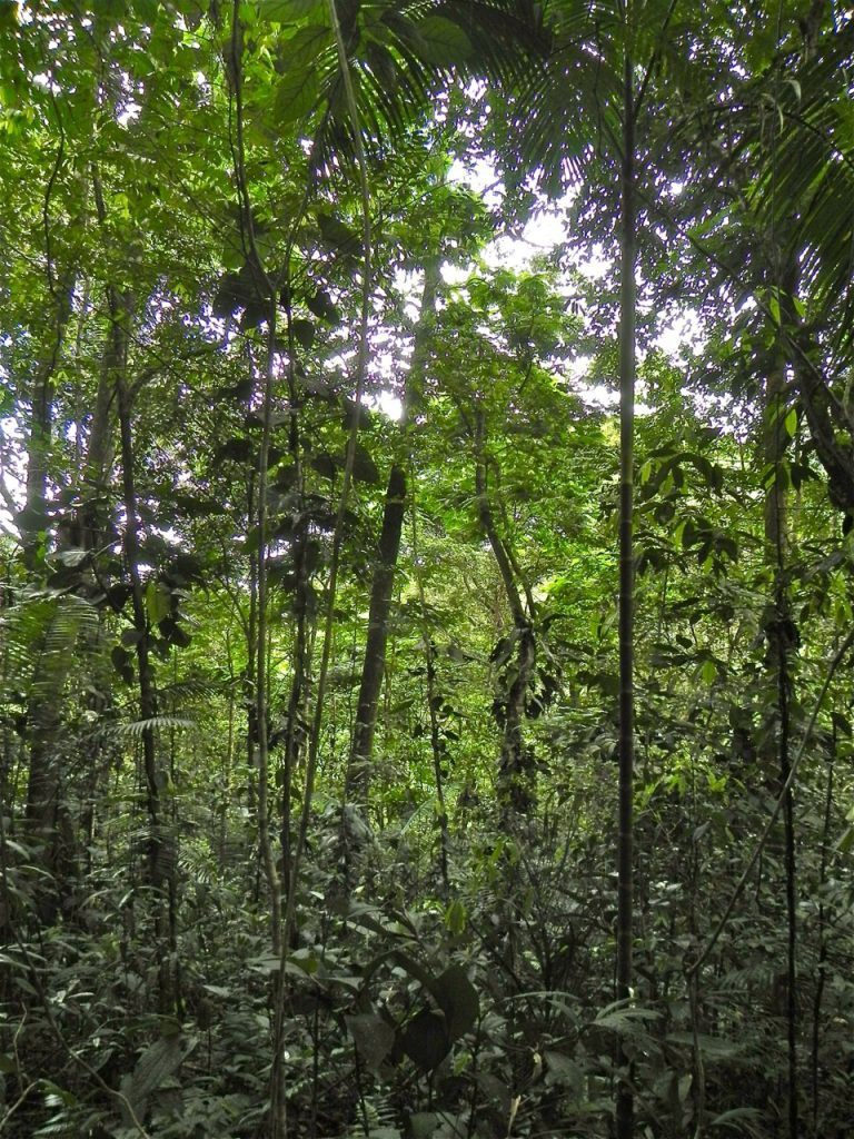 Interior of an 18-year-old second-growth wet tropical forest that was formerly pasture in northeastern Costa Rica. (Robin Chazdon/UConn Photo)