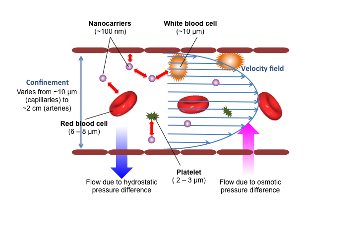 The diagram shows how certain sized nanocarrier particles injected into the bloodstream bounce off red and white blood cells and platelets and are pushed toward the blood vessel walls. This physical interaction, measured and quantified for the first time by engineering professor Anson Ma's lab, provides important information for drug developers. (Image courtesy of Anson Ma)