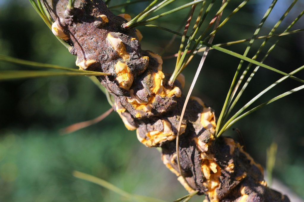 White pine blister rust on a twig. (Photo by Marek Argent via Wikimedia Commons)