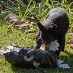 A black bear eats paper torn out of a residential garbage bag in summertime. (AwakenedEye via Getty Images)