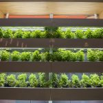 The newly renovated Putnam Refectory dining hall includes an area for growing fresh herbs. (Ryan Glista/UConn Photo)