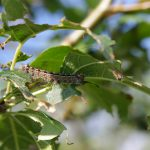 Close-up of a gypsy moth on an apple tree. (Getty Images)