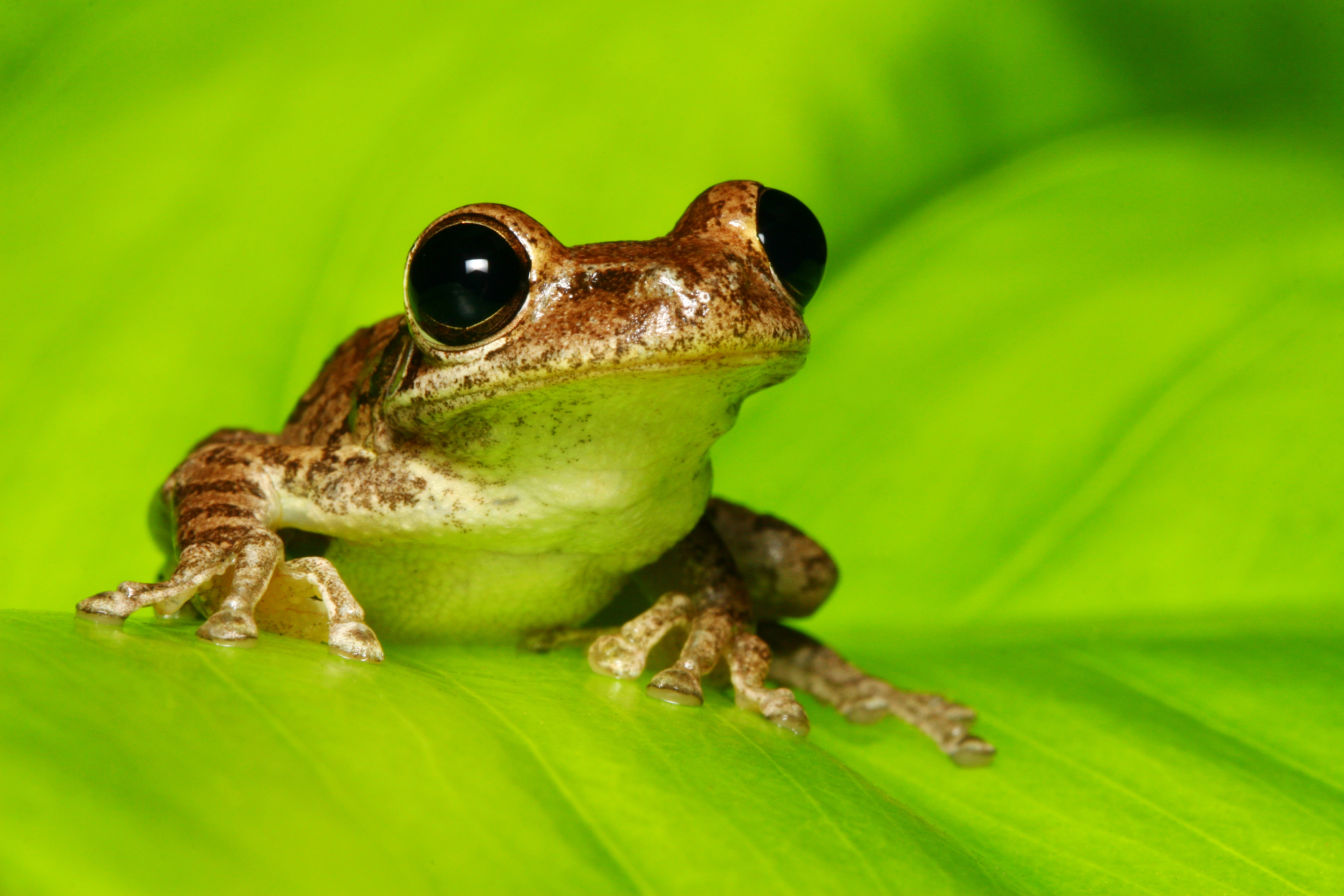 In Frogs, Early Activity of Gut Microbiome Shapes Later ...