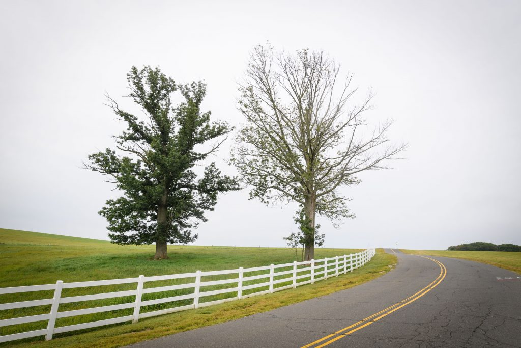 A pair of ash trees along Horsebarn Hill Road on Aug. 29, 2017. (Peter Morenus/UConn Photo)