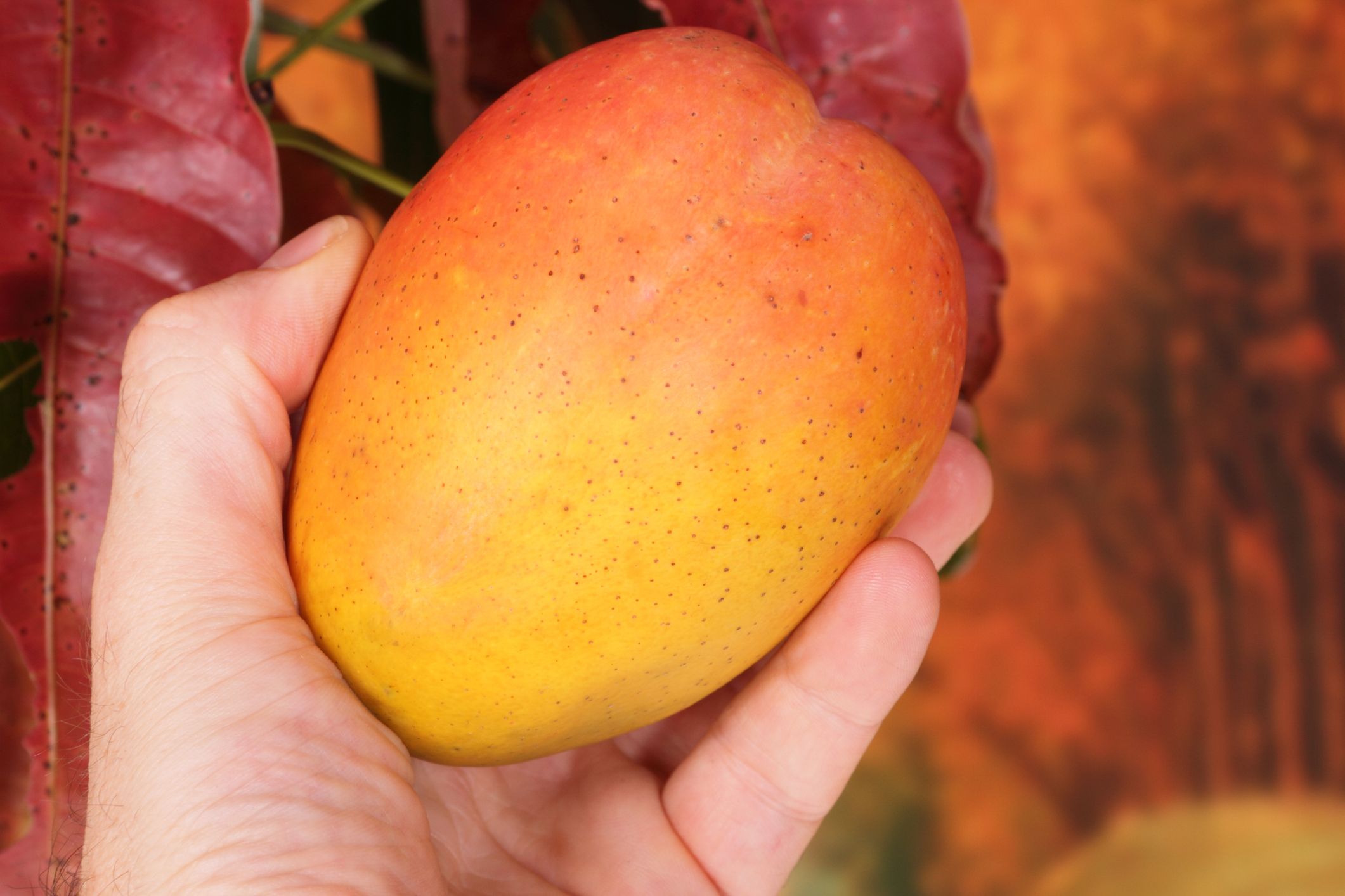Mango being picked from tree. (Getty Images)