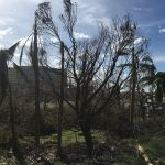 Damage to trees and buildings Puerto Rico after Hurricane Maria. (Photo courtesy of Dr. Robert Fuller)