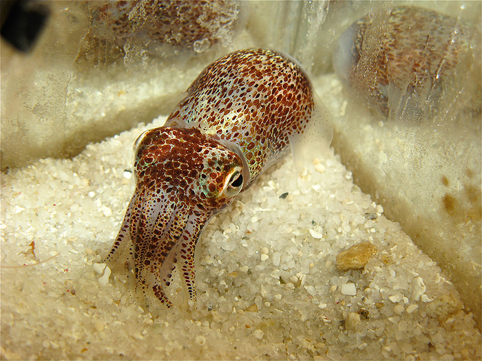 Glowing Squid Thrive In Symbiotic Relationship Uconn Today