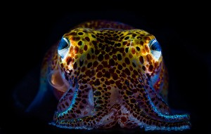 <p>Bobtail squid provide a home within their body cavity for luminescent squid, which helps camouflage them against moonlight. Photo by Mattias Ormestad</p>