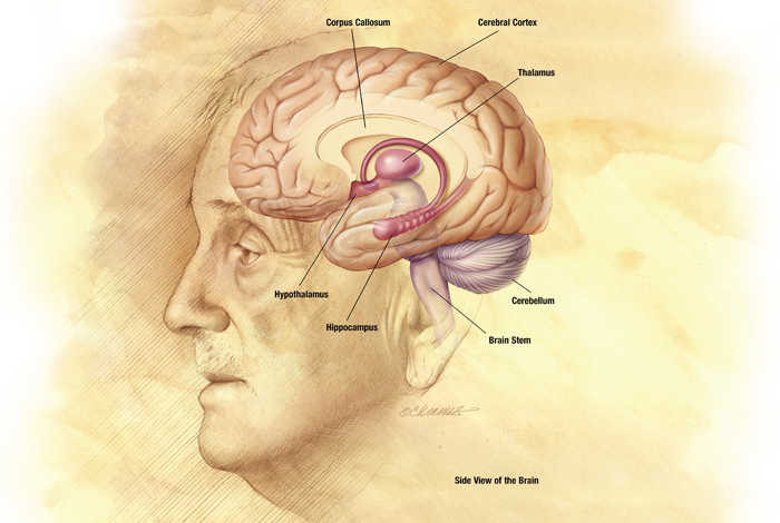 <p>Medical Illustration provided by National Institute on Aging, National Institutes of Health   Images</p>