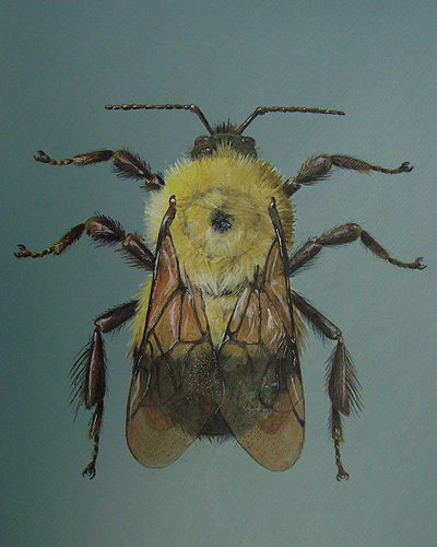 illustration_bumble-bee_lg