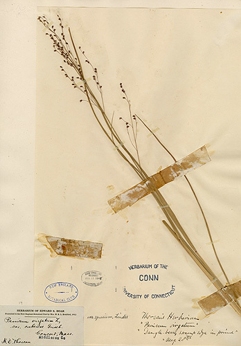 <p>This is a specimen of Panicum virgatum, switchgrass, which Henry David Thoreau collected in Concord. It is a common grass that is widespread throughout North America, occurring in both prairies and open woods. Digital images courtesy of the George Safford Torrey Herbarium </p>