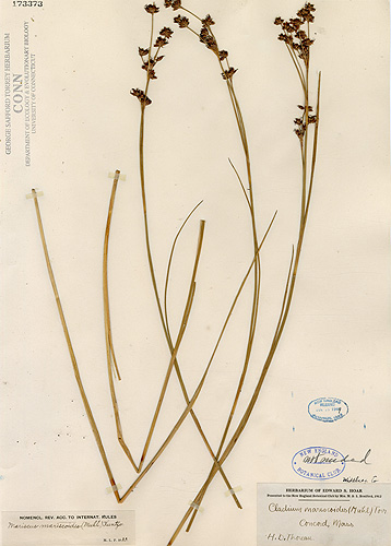 <p> This sedge, Cladium mariscoides, also was collected by Thoreau. It is common in marshes and wet meadows of New England. Digital images courtesy of the George Safford Torrey Herbarium </p>