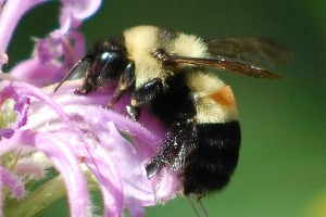 The Affable bumble bee (Bombus affinis) is among the species that is no longer found in what once was its native habitat. (Johanna James-Heinz photo)