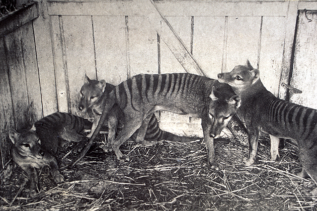 A group of Tasmanian tigers in captivity. (Photo courtesy of the Tasmanian Museum and Art Gallery)