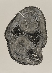 "Leader 2010: Ash, 30 1/2 x 21 1/2 inches from the book ""Woodcut"". In this oblong section the leader, or trunk, is divided into two. The cores, surrounded by rings, create a topographical feel."