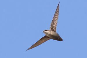 A chimney swift, sometimes referred to as a flying cigar, in flight. (Photo by Michael Veltri)