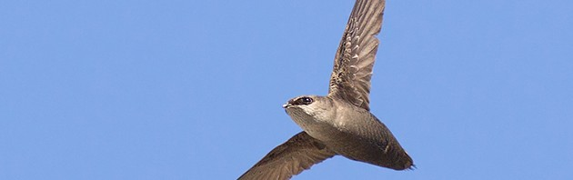 A Chimney swift, sometimes referred to as a flying cigar. (Michael Veltri Photo)