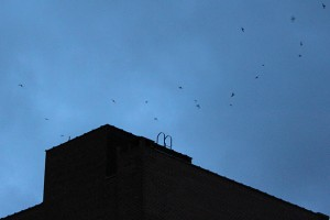 Chimney swifts returning in great numbers to their roost in the chimney of the Nathan Hale building in downtown Willimantic. (Brianna Diaz/UConn Photo)