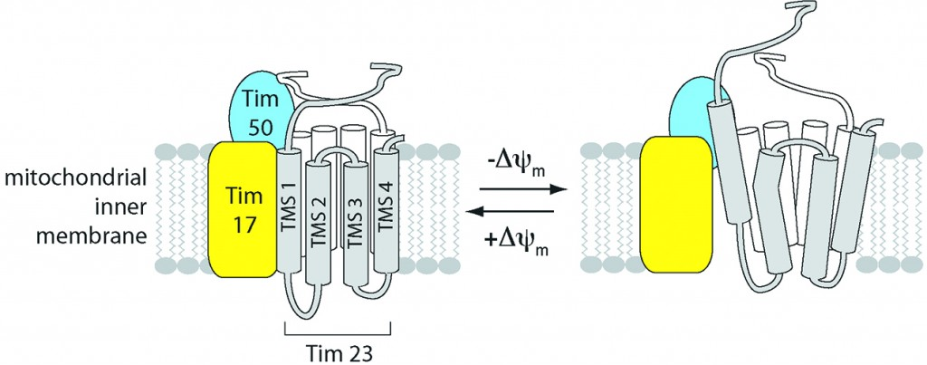 A visual representation of how the translocase of the inner membrane (TIM) 23 complex - a central voltage-gated channel ferrying proteins into a cell's mitochondrial inner membrane – changes its structure relative to the energized state of the membrane. Graphic courtesy of Nathan Alder.