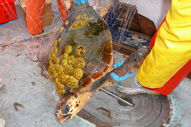 Although it is distressing to see the turtles struggling in the nets, Senk says the emotional aspects of his work drive him to continue. (Photo courtesy of Jesse Senko)
