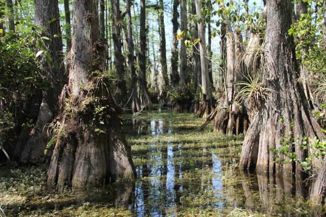 Cypress trees thrive in pools called cypress domes. (Kaitlyn Carroll/UConn Photo)