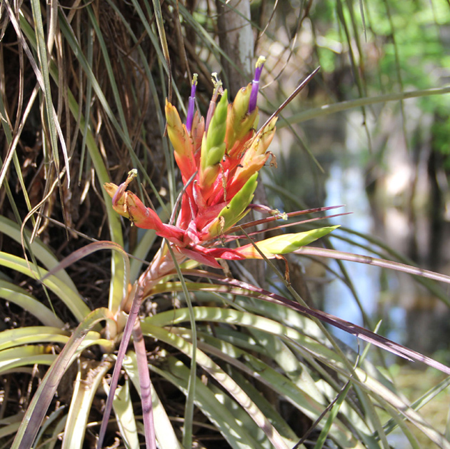 A bromeliad air plant blooming deep in a cypress dome, a pool that collects in a lower elevation of the Everglades. (Kaitlyn Carroll/UConn Photo)