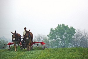 An Amish farmer in Lancaster, Pennsylvania 'tedding' (fluffing) hay with mules to dry the hay before baling. (Photo courtesy of Tom Morris)