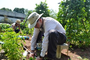 Dr. Bruce Gould, foreground, makes holes in the soil to plant seedlings, while UConn Master Gardener Sheila Dworkin plants lettuce in the community garden in the grounds of the Burgdorf Clinic. (Chris DeFrancesco/UConn Health Photo)