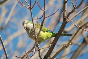 A Monk Parakeet perched in a tree in West Haven, Conn. (Kevin Burgio '10 (CLAS)/UConn Photo)