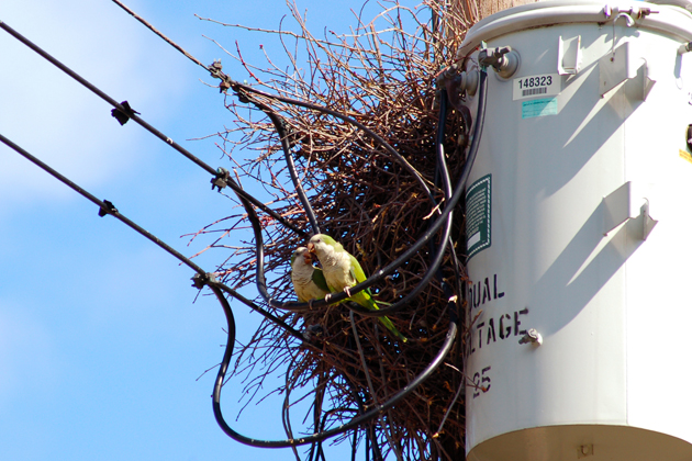 A pair of Monk Parakeets sitting on a powerline just outside their nest in Stratford, Conn. (Kevin Burgio '10 (CLAS)/UConn Photo)