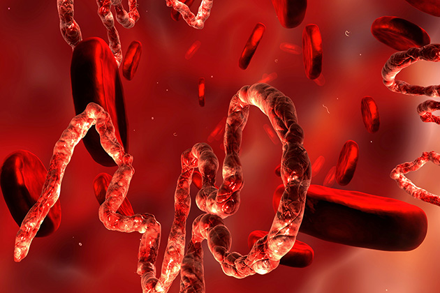 Antibodies in the blood, made by cells (B lymphocytes), are part of the body's natural defense against infectious pathogens such as the Ebola virus. This microscopic rendering depicts the Ebola virus (the strands) surrounded by blood cells (the disks). (Shutterstock Photo)