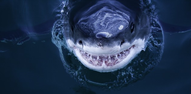 Turning the Tide for Great White Sharks - UConn Today