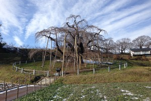 Miharu's famous 1,000-year-old cherry tree. (Alexis Dudden/UConn Photo)