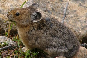An American pika in the Canadian Rocky Mountains. Pikas live in high mountain ecosystems that are cool and moist, and can overheat in higher temperatures. Unlike other mountain species that can move to higher altitudes in warming climates, pikas live so high there is no where for them to go. (Wikimedia Photo)
