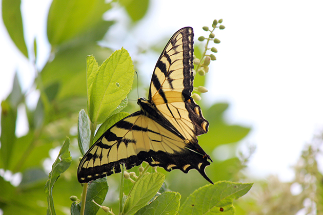 A swallowtail butterfly seen near Swan Lake during BioBlitz 2015 on July 25, 2015. (Sheila Foran/UConn Photo)