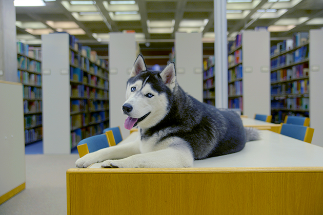 Jonathan XIV waits in Homer Babbidge Library for the students to return. (Angelina Reyes/UConn Photo)